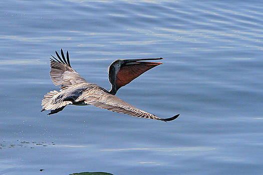 Morning Pelican by Shoal Hollingsworth