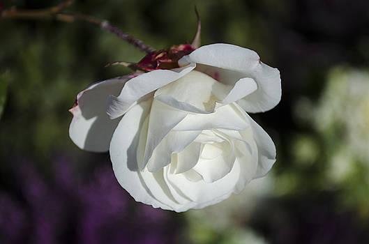 Morning rose by Dan Hefle
