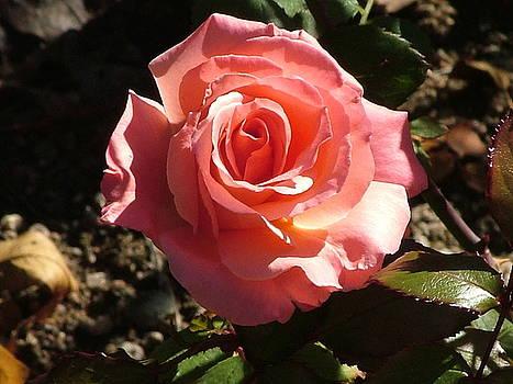 Nick Gustafson - Morning Rose