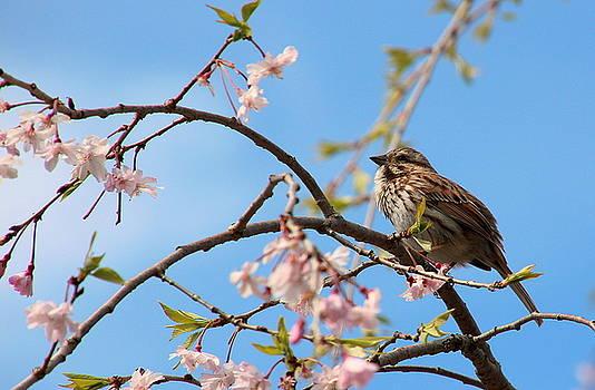Morning Song Sparrow by Rosanne Jordan