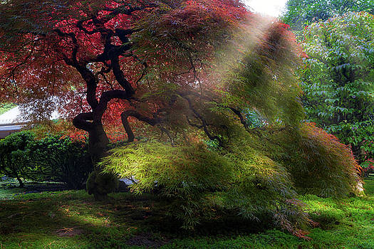 Morning Sun Rays on Old Japanese Maple Tree in Fall by David Gn