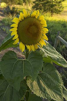 Morning Sunflower by Paul DeRocker