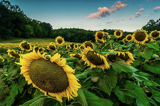 Morning Sunflowers by Eric Albright