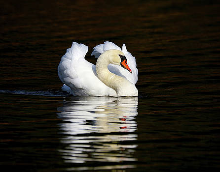 Morning Swan by Jim Nelson