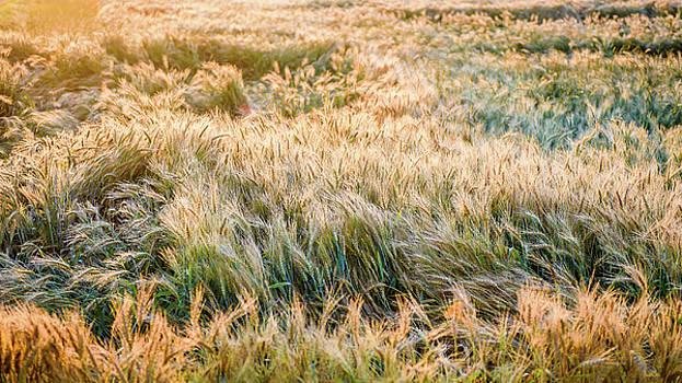 Morning Wheat by Joe Shrader