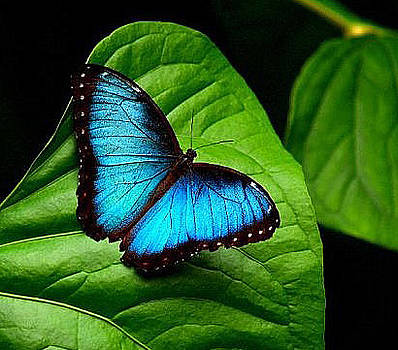 Morpho Butterfly by Kathryn Colvig