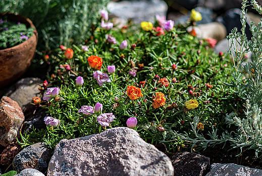 Moss Rose in the Rocks #1 by John Brink
