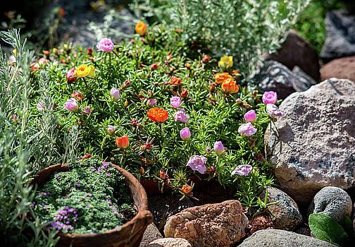 Moss Rose in the Rocks #2 by John Brink