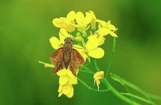 Moth On Mustard Flower by Manjot Singh Sachdeva