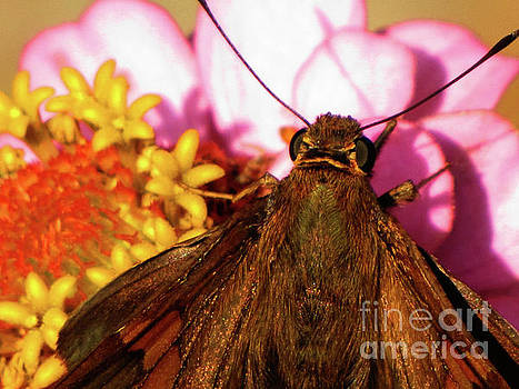 Moth on Pink and yellow Flowers by Ron Tackett