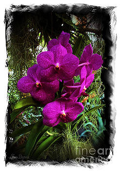 Moth Orchids  by Karry Degruise