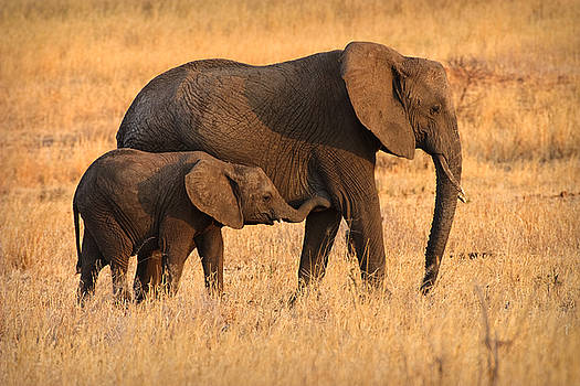 Adam Romanowicz - Mother and Baby Elephants