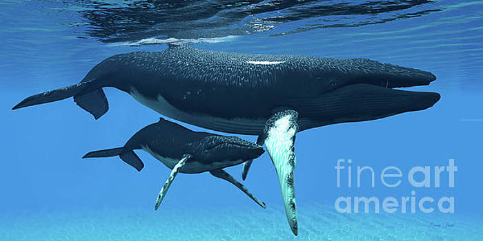 Corey Ford - Mother and Baby Humpback Whales