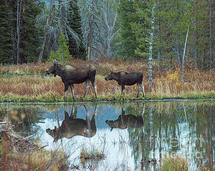 Mother and Baby Moose Reflection by Rebecca Margraf