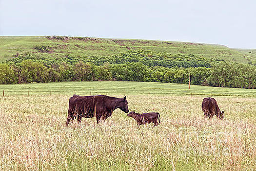 Mother and Calf in the Flint Hills by Catherine Sherman