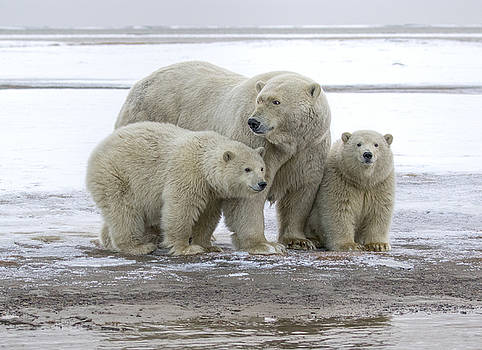 Mother and Cubs in the Arctic by Cheryl Strahl