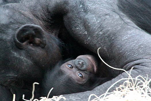 Mother Bonobo and her Baby by Laurel Talabere