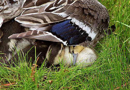 Mother Duck and Babies by Mark Duffy