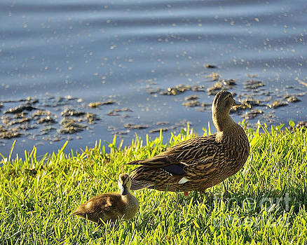Mother Duck by Timothy OLeary