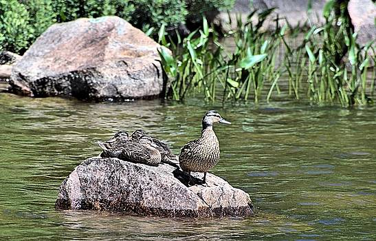 Mother Duck With Juveniles by Andrew Miles