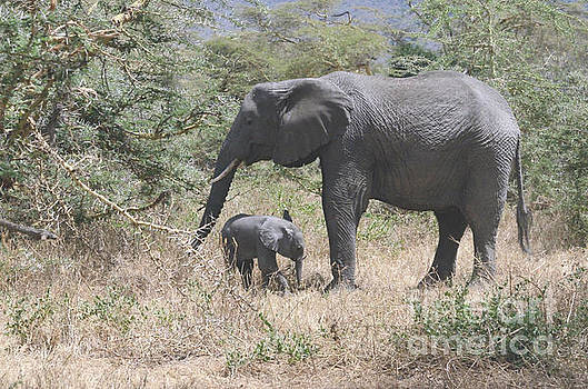 Mother Elephant With Baby Foraging by Tom Wurl