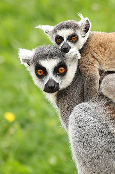 Mother lemur and child by Fun Cards