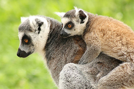 Mother lemur and child by Funcards