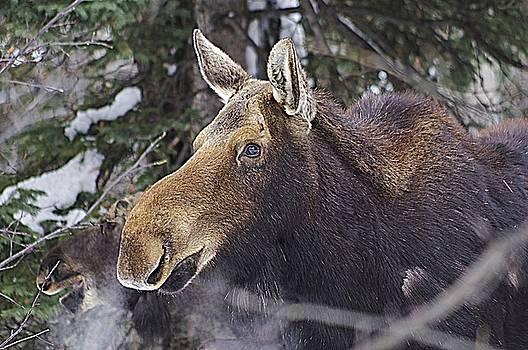 Mother Moose by Matt Helm