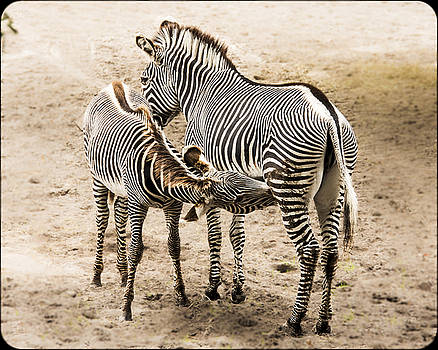 Mother Zebra nursing Baby by Paula Porterfield-Izzo