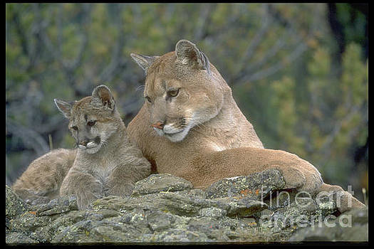 Motherhood, Mountian Lion and Baby by Sandy Carey