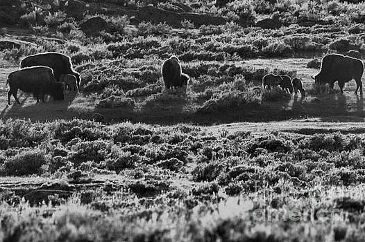 Adam Jewell - Mothers And Newborn Bison Black And White