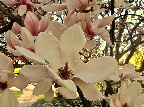 Mother's Day Magnolia by Elizabeth Tillar