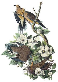 John James Audubon - Mounring Dove
