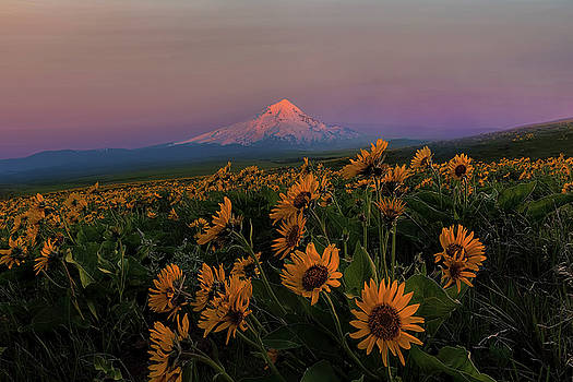 Mount Hood and Balsam Root Blooming in Spring by David Gn