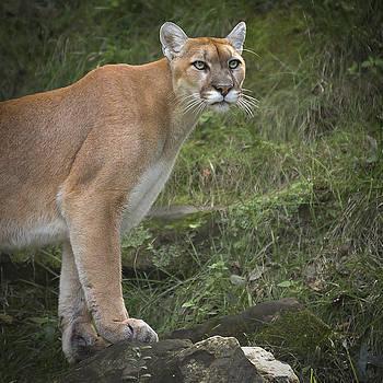 Garett Gabriel - Mountain Lion