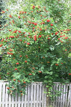 Mountain Ash and Fence by Kimberly VanNostrand