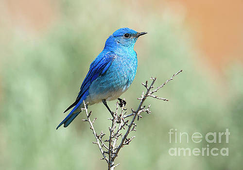 Mountain Bluebird Beauty by Mike Dawson