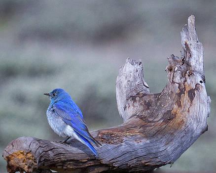 Mountain Bluebird on Driftwood at Yellowstone by Deb Henman