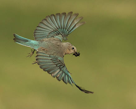 Mountain Bluebird with Cricket by Lois Lake