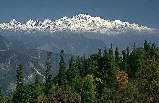 Mountain Cedar by Threesh Kapoor