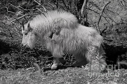 Mountain Goat Black and White by Steve Triplett