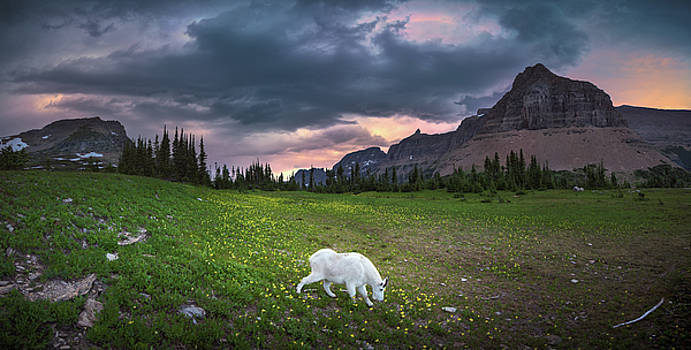 Mountain goat eating grass at Glacier National Park by William Freebilly photography