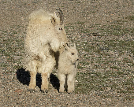 Mountain Goat Nanny and Kid by Lois Lake