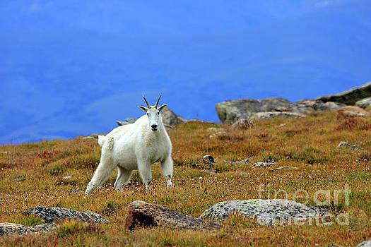 Mountain Goat on Fall Tundra by Steve Boice