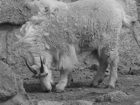 Mountain Goat by Peter  McIntosh