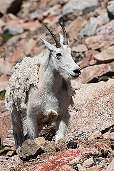 Mountain Goat by Tibor Vari