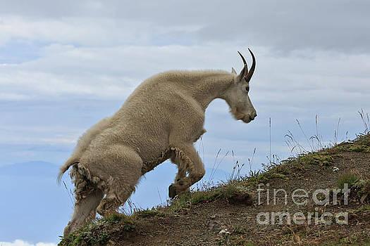 Mountain goat by Tim Hauf