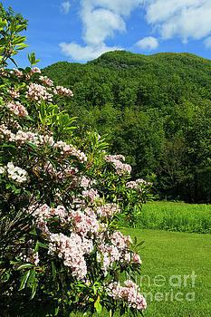 Jill Lang - Mountain Laurel in North Carolina