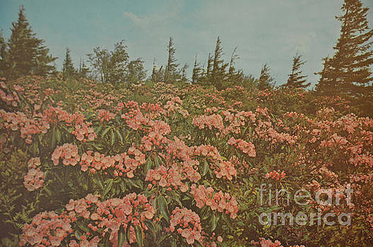 Mountain Laurel On Dolly Sods by Ruth Housley