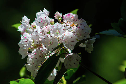 Mountain Laurel by Patti Colston